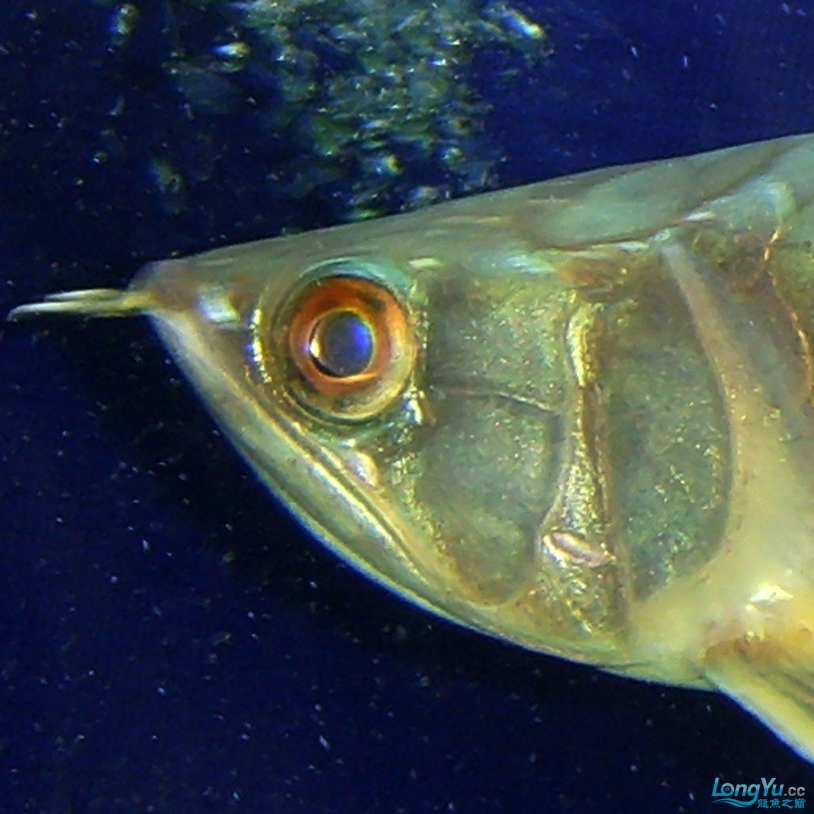 【西安巴厘岛观赏鱼中心6】神龙丁丁:看看是 母鱼还是公鱼? 西安观赏鱼信息 西安博特第1张