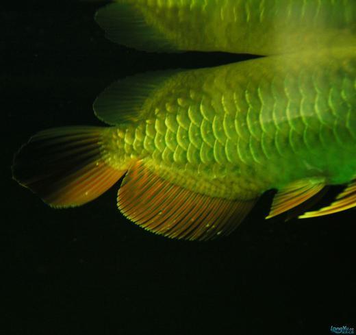 【西安观赏鱼交易中心】到底是怎么了?? 西安观赏鱼信息