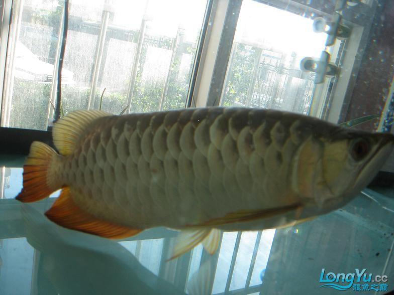 不到一年的红尾大家看看怎么样? 西安观赏鱼信息