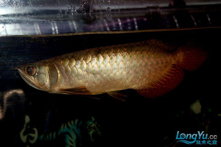 到家十多天了,看看状态怎么样 西安观赏鱼信息 西安博特第1张