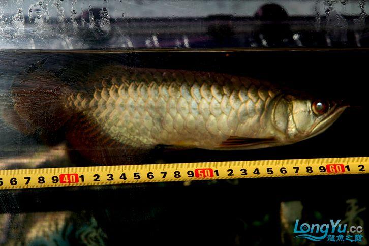 到家十多天了,看看状态怎么样 西安观赏鱼信息 西安博特第2张
