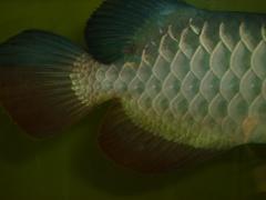 【西安印尼红龙】紧急求租高手指点 西安观赏鱼信息 西安博特第1张