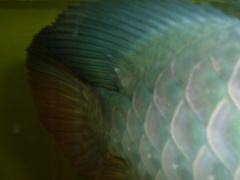 【西安印尼红龙】紧急求租高手指点 西安观赏鱼信息 西安博特第4张