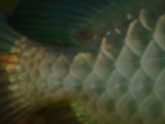 【西安印尼红龙】紧急求租高手指点 西安观赏鱼信息 西安博特第3张