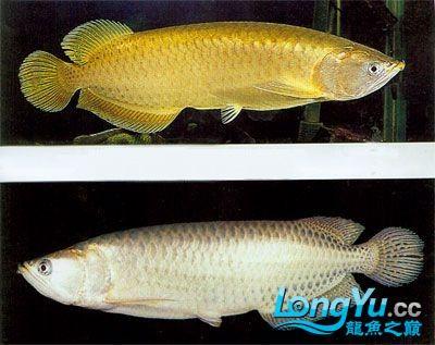 星点斑纹龙 西安观赏鱼信息 西安博特第2张