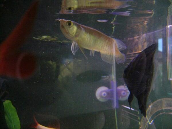 龍魚馴餌飼料【西安观赏鱼交易中心】 西安观赏鱼信息 西安博特第11张