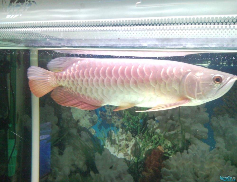 看看这条龙鱼是高背吗?有35CM长,价格是多少? 西安观赏鱼信息 西安博特第1张