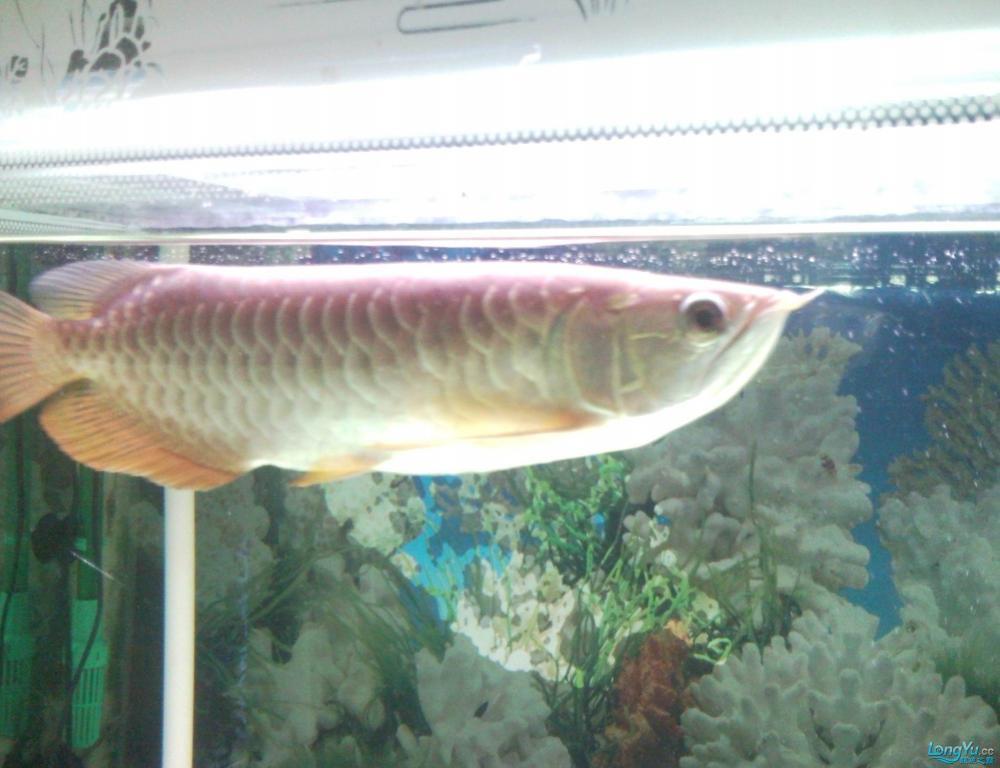 看看这条龙鱼是高背吗?有35CM长,价格是多少? 西安观赏鱼信息 西安博特第3张
