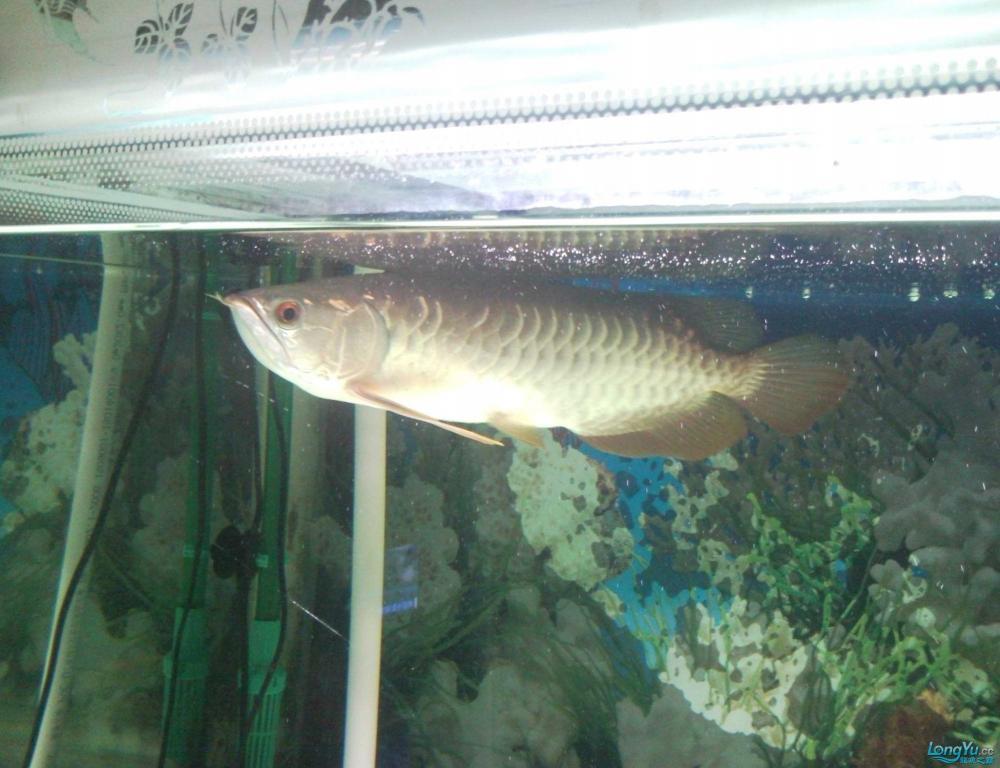 看看这条龙鱼是高背吗?有35CM长,价格是多少? 西安观赏鱼信息 西安博特第5张