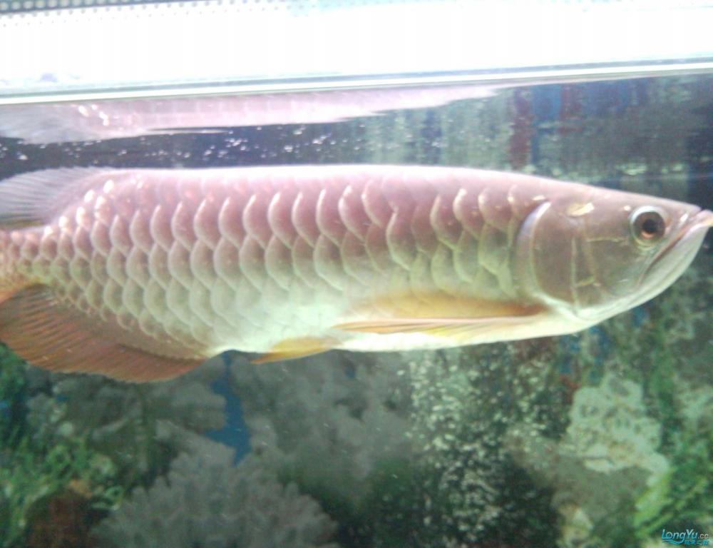 看看这条龙鱼是高背吗?有35CM长,价格是多少? 西安观赏鱼信息 西安博特第4张