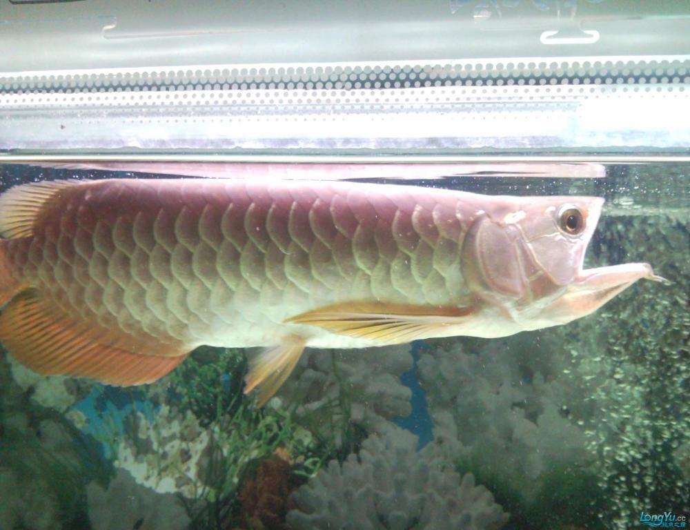 看看这条龙鱼是高背吗?有35CM长,价格是多少? 西安观赏鱼信息 西安博特第6张