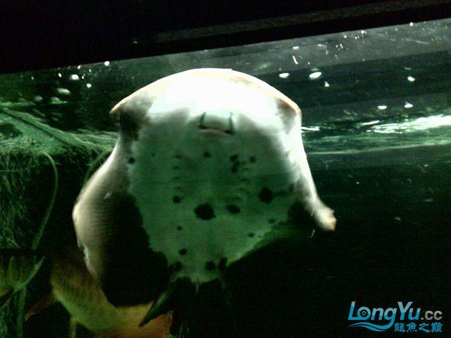 公珍珠好像生病了,已追加【西安汇丰观赏鱼】新图片?这是我的种鱼不能出事啊,大家帮 西安观赏鱼信息 西安博特第6张