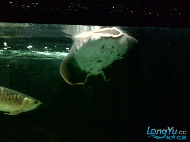 公珍珠好像生病了,已追加【西安汇丰观赏鱼】新图片?这是我的种鱼不能出事啊,大家帮 西安观赏鱼信息 西安博特第8张