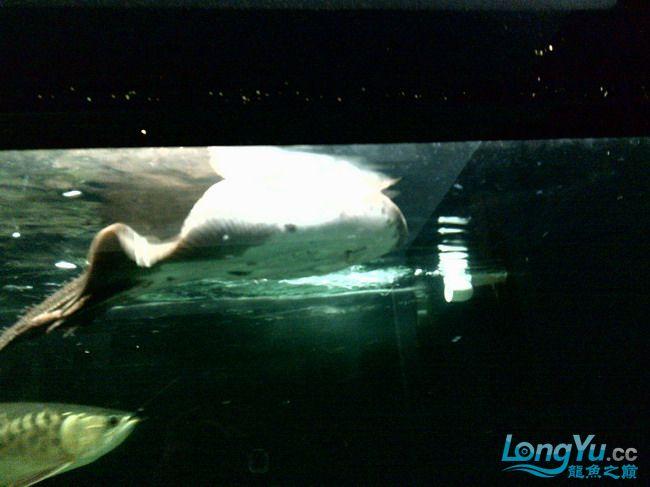 公珍珠好像生病了,已追加【西安汇丰观赏鱼】新图片?这是我的种鱼不能出事啊,大家帮 西安观赏鱼信息 西安博特第7张