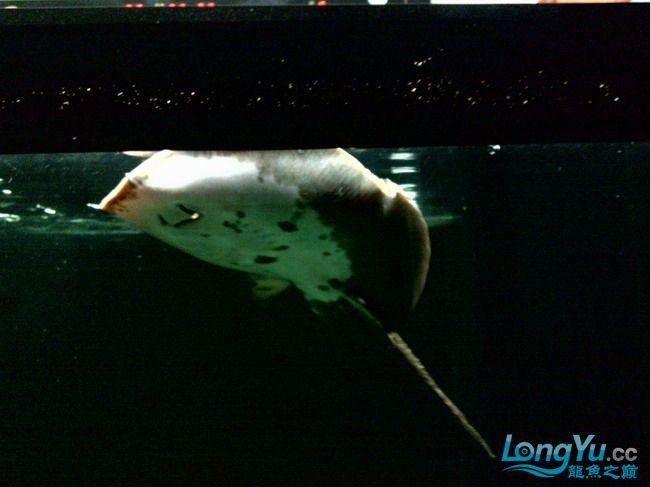 公珍珠好像生病了,已追加【西安汇丰观赏鱼】新图片?这是我的种鱼不能出事啊,大家帮 西安观赏鱼信息 西安博特第12张