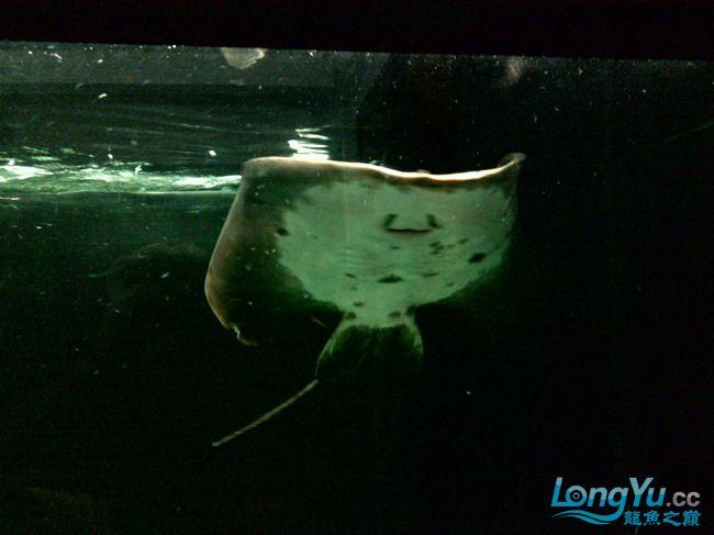 公珍珠好像生病了,已追加【西安汇丰观赏鱼】新图片?这是我的种鱼不能出事啊,大家帮 西安观赏鱼信息 西安博特第11张