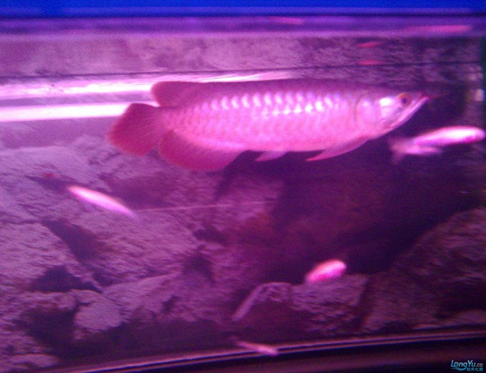 养了两月的辣椒红龙 西安观赏鱼信息