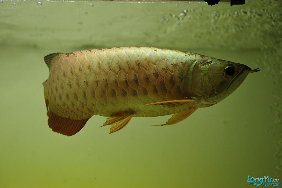 庆祝祖国60华诞!发送龙鱼60美图![2] 西安观赏鱼信息 西安博特第5张