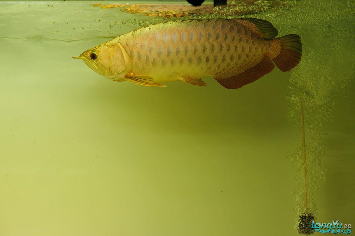 庆祝祖国60华诞!发送龙鱼60美图![2] 西安观赏鱼信息 西安博特第4张