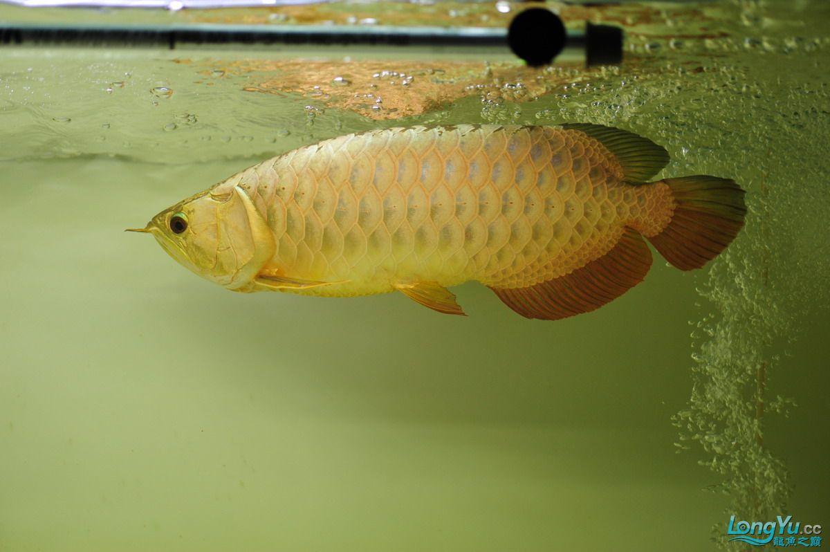 庆祝祖国60华诞!发送龙鱼60美图![2] 西安观赏鱼信息 西安博特第7张