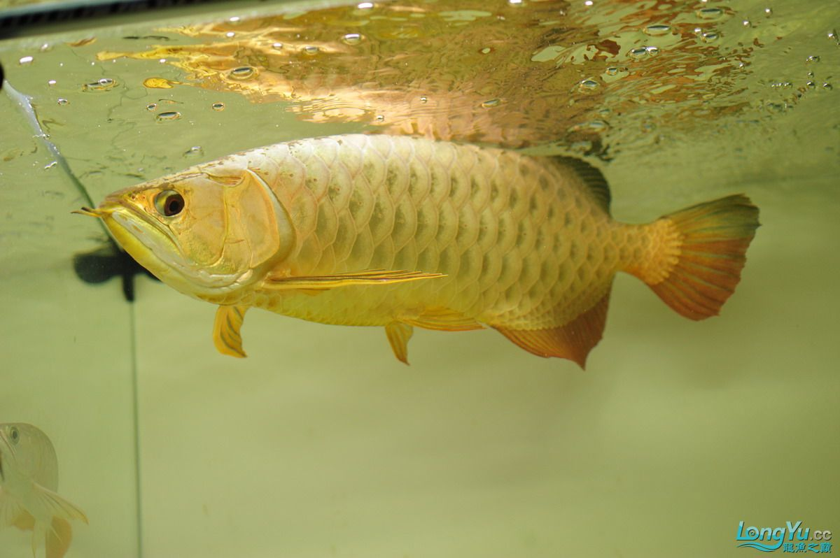 庆祝祖国60华诞!发送龙鱼60美图![2] 西安观赏鱼信息 西安博特第12张