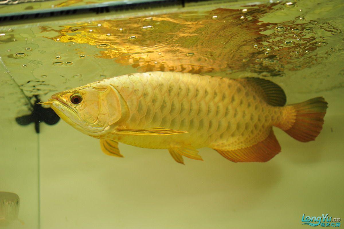 庆祝祖国60华诞!发送龙鱼60美图![2] 西安观赏鱼信息 西安博特第11张