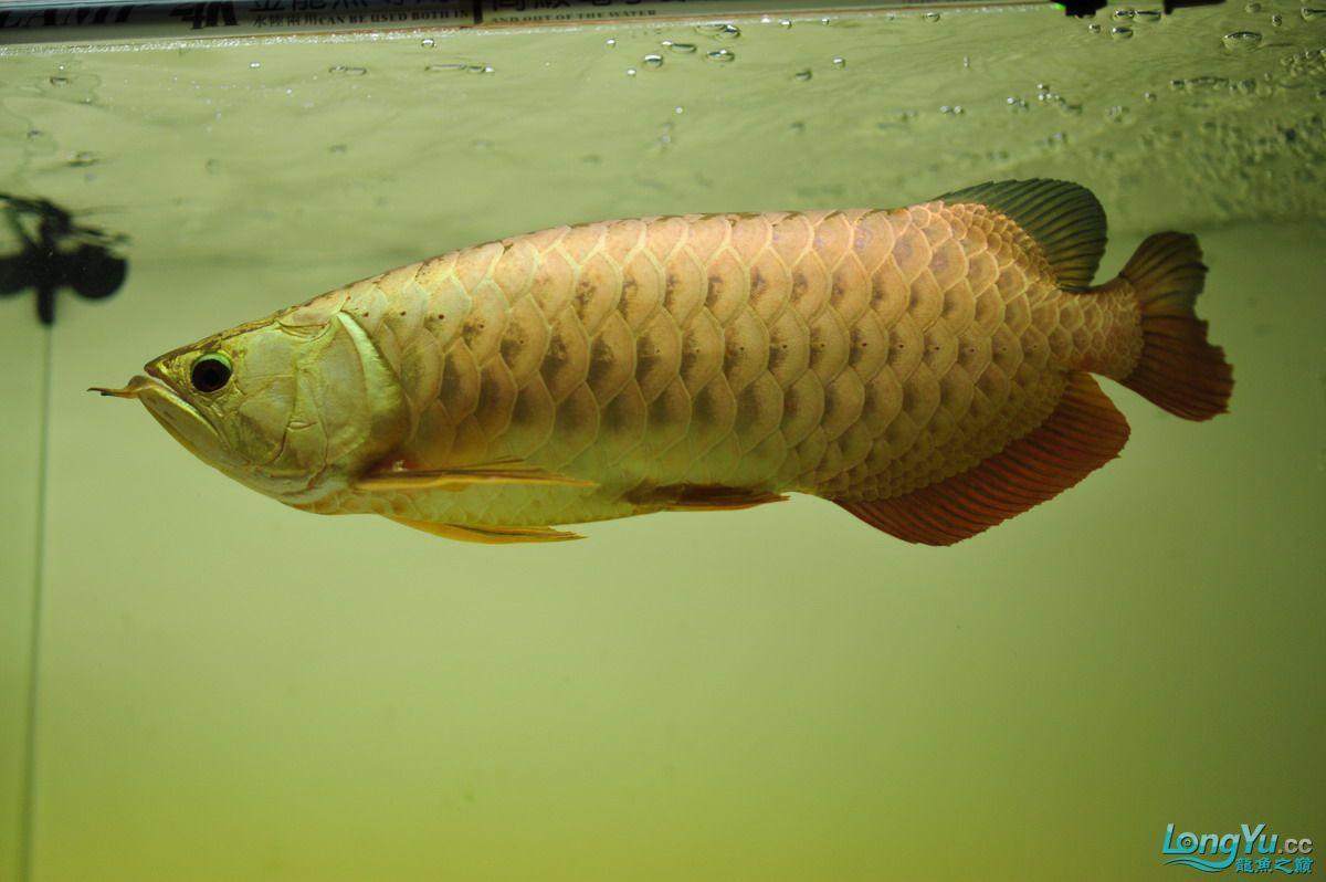庆祝祖国60华诞!发送龙鱼60美图![2] 西安观赏鱼信息 西安博特第13张