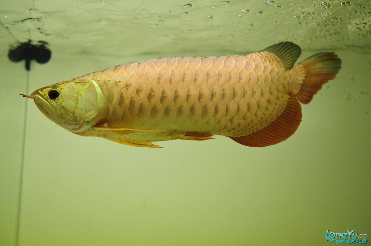 庆祝祖国60华诞!发送龙鱼60美图![2] 西安观赏鱼信息 西安博特第14张