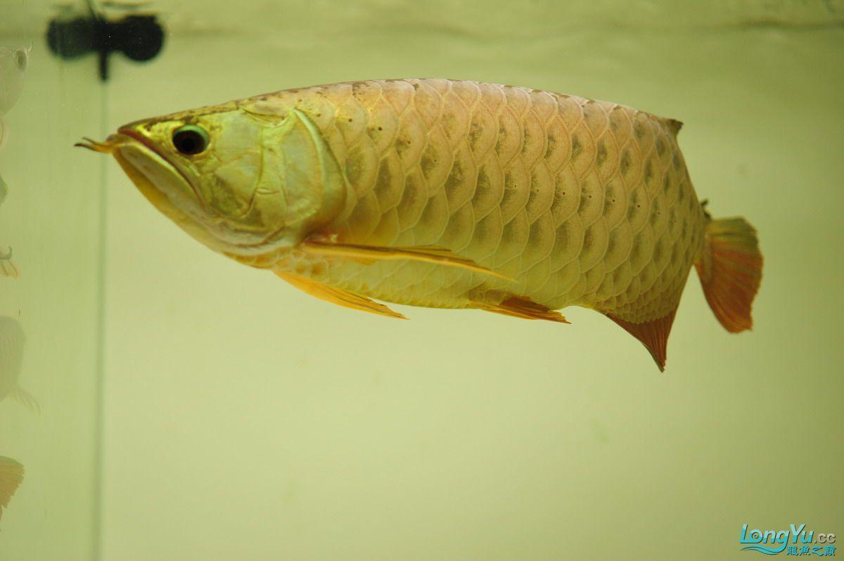 庆祝祖国60华诞!发送龙鱼60美图![2] 西安观赏鱼信息 西安博特第15张