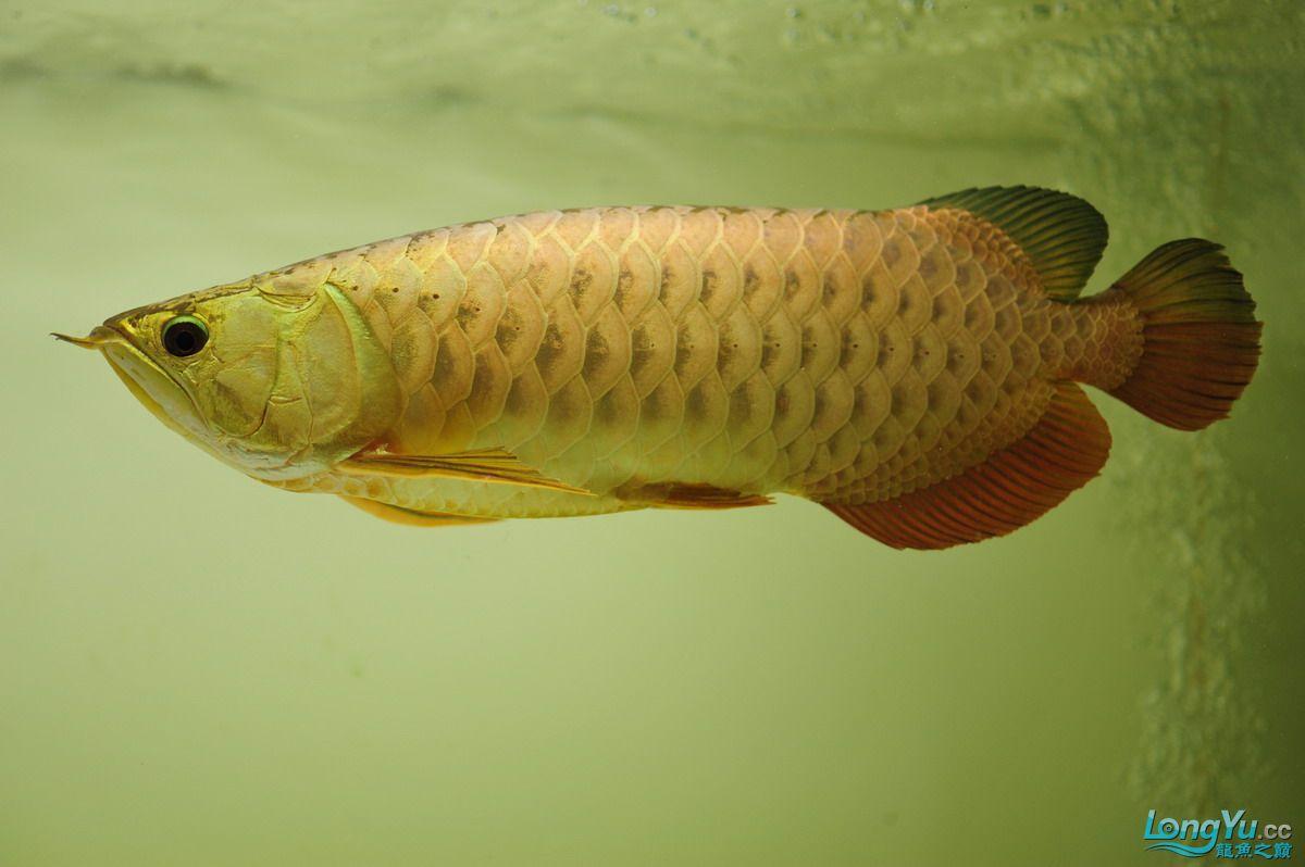 庆祝祖国60华诞!发送龙鱼60美图![2] 西安观赏鱼信息 西安博特第18张
