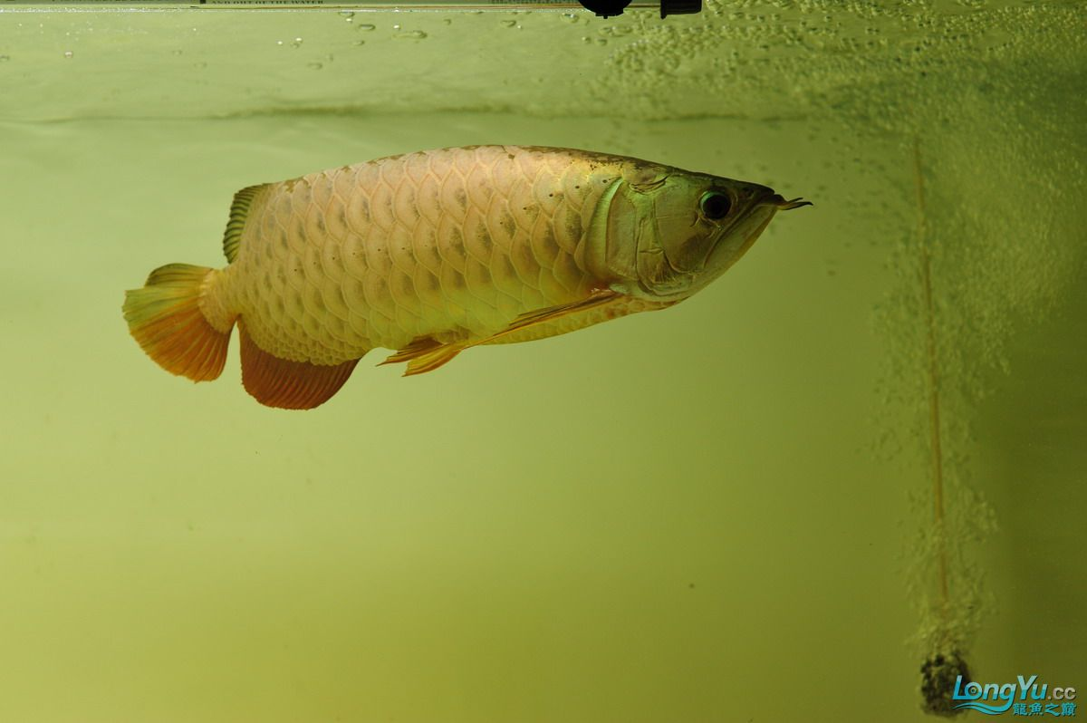 庆祝祖国60华诞!发送龙鱼60美图![2] 西安观赏鱼信息 西安博特第23张