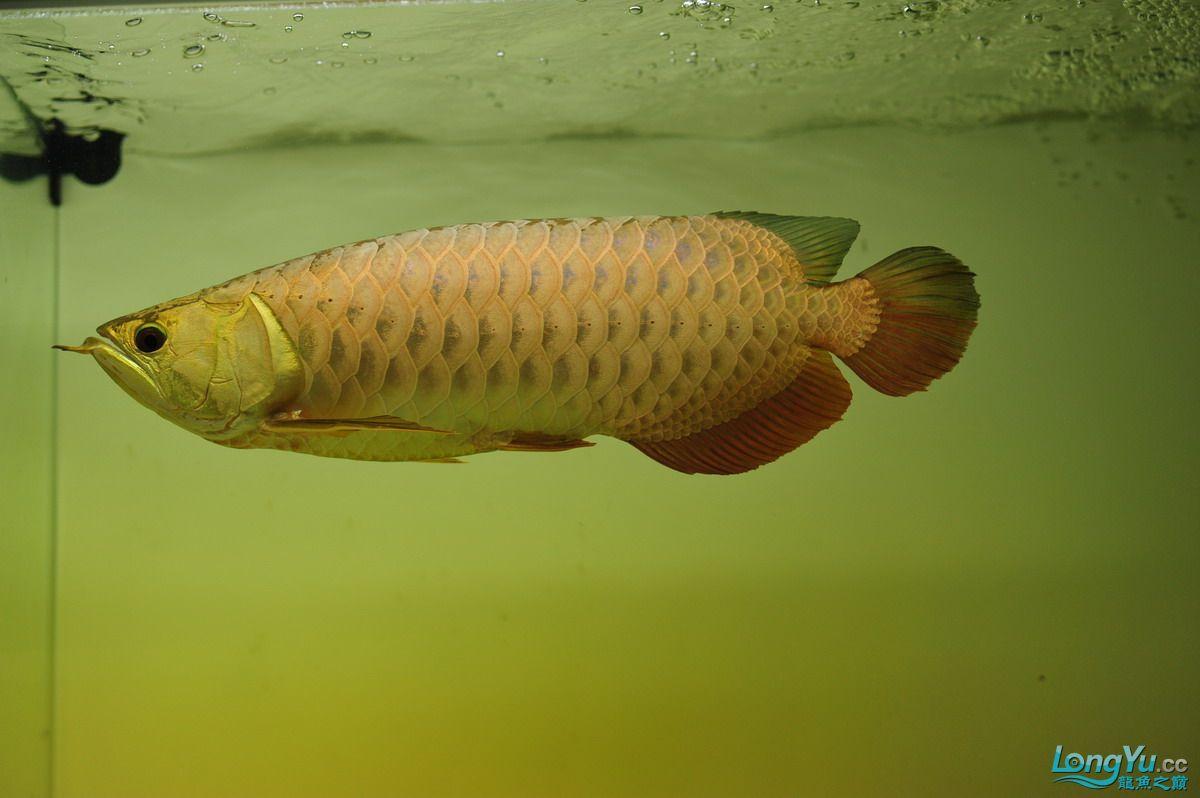 庆祝祖国60华诞!发送龙鱼60美图![2] 西安观赏鱼信息 西安博特第21张