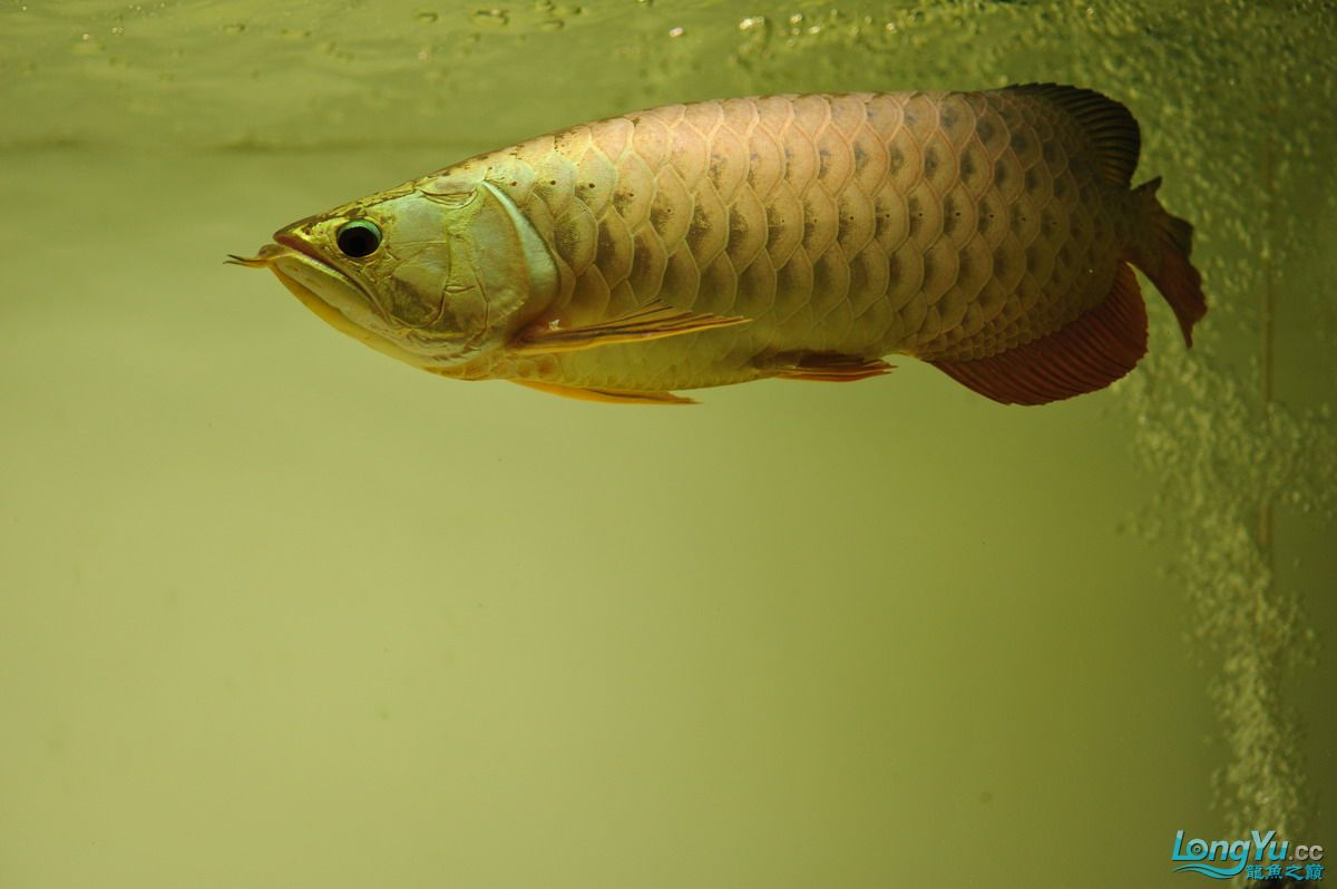 庆祝祖国60华诞!发送龙鱼60美图![2] 西安观赏鱼信息 西安博特第28张