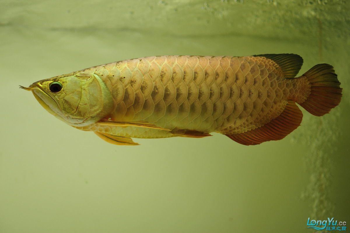 庆祝祖国60华诞!发送龙鱼60美图![2] 西安观赏鱼信息 西安博特第37张
