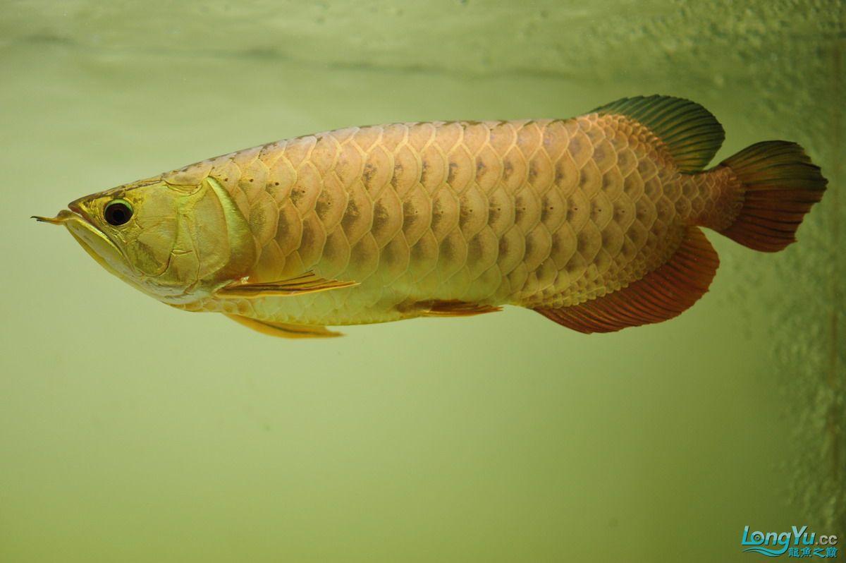 庆祝祖国60华诞!发送龙鱼60美图![2] 西安观赏鱼信息 西安博特第39张