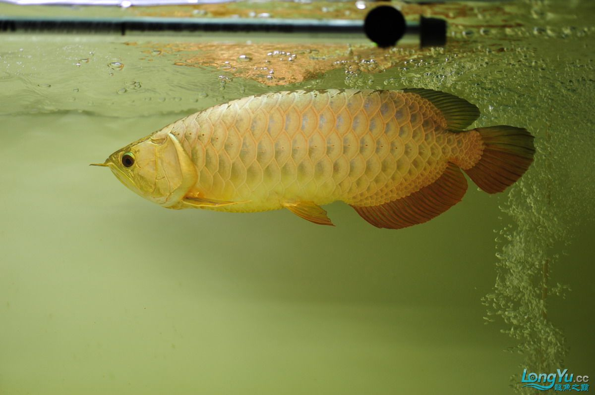 庆祝祖国60华诞!发送龙鱼60美图![2] 西安观赏鱼信息 西安博特第47张