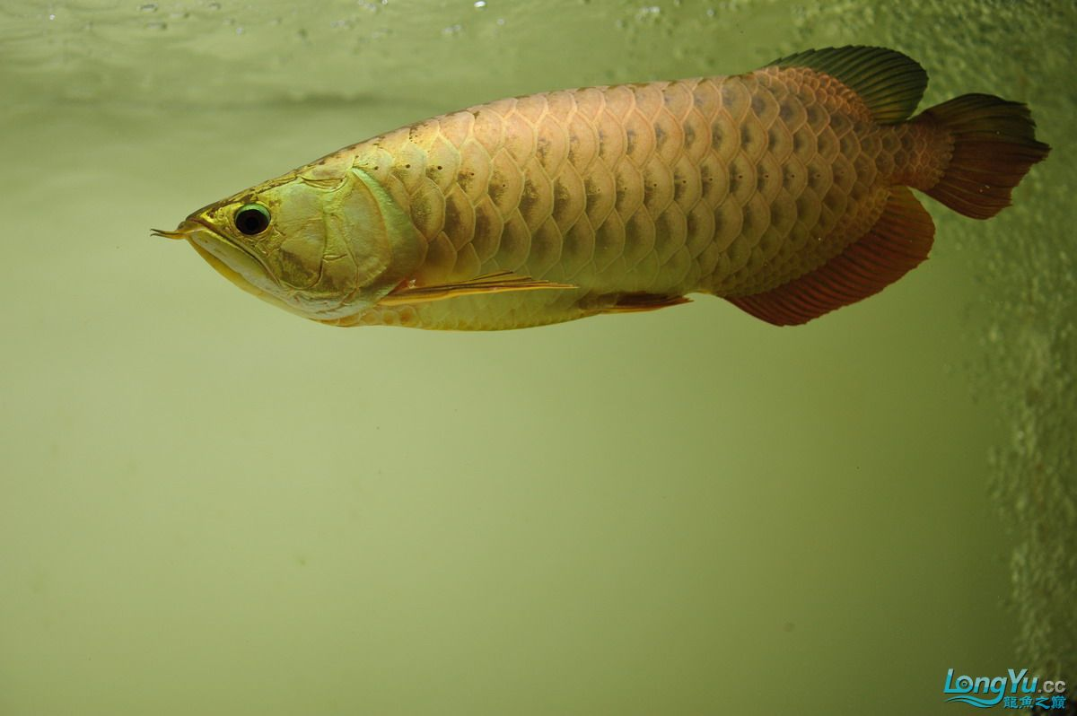 庆祝祖国60华诞!发送龙鱼60美图![2] 西安观赏鱼信息 西安博特第49张