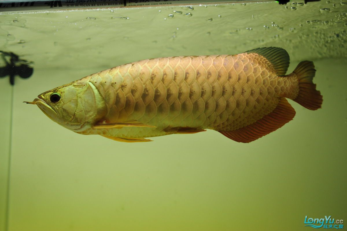 庆祝祖国60华诞!发送龙鱼60美图![2] 西安观赏鱼信息 西安博特第73张