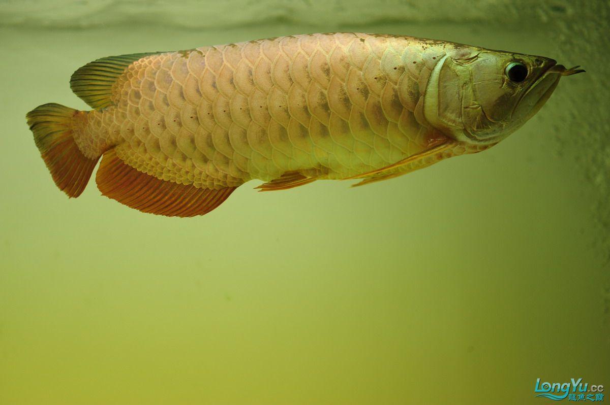 庆祝祖国60华诞!发送龙鱼60美图![2] 西安观赏鱼信息 西安博特第80张