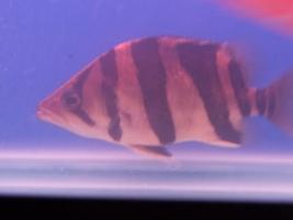 【西安最大水族批发市场】刚请2天的虎请大家评评 西安观赏鱼信息 西安博特第1张