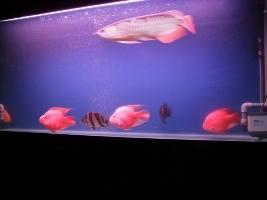 【西安最大水族批发市场】刚请2天的虎请大家评评 西安观赏鱼信息 西安博特第3张
