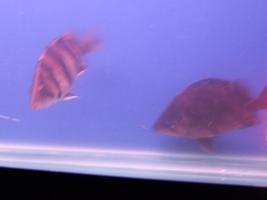 【西安最大水族批发市场】刚请2天的虎请大家评评 西安观赏鱼信息 西安博特第2张
