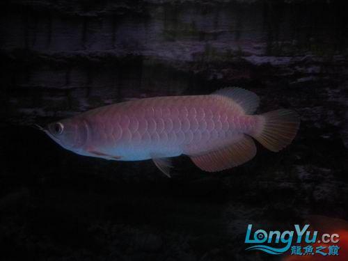 各位高手来看【西安鱼缸清洗】看我的宝石 西安观赏鱼信息 西安博特第1张