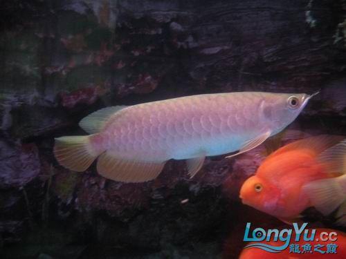 各位高手来看【西安鱼缸清洗】看我的宝石 西安观赏鱼信息 西安博特第2张