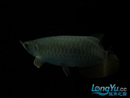 各位高手来看【西安鱼缸清洗】看我的宝石 西安观赏鱼信息 西安博特第4张