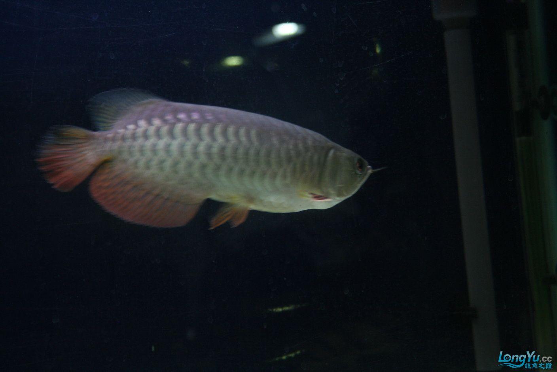 【西安哪个水族馆有金龙】升级版龙虎斗! 西安观赏鱼信息 西安博特第2张