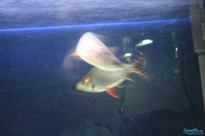 【西安哪个水族馆有金龙】升级版龙虎斗! 西安观赏鱼信息 西安博特第3张