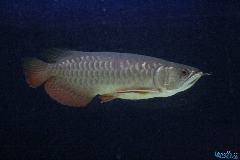 【西安哪个水族馆有金龙】升级版龙虎斗! 西安观赏鱼信息 西安博特第4张