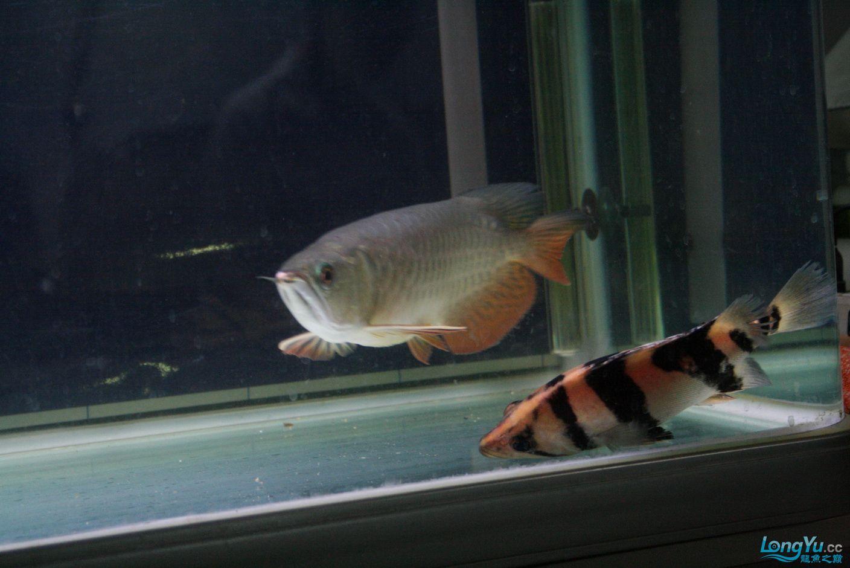 【西安哪个水族馆有金龙】升级版龙虎斗! 西安观赏鱼信息 西安博特第7张