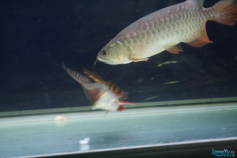 【西安哪个水族馆有金龙】升级版龙虎斗! 西安观赏鱼信息 西安博特第8张